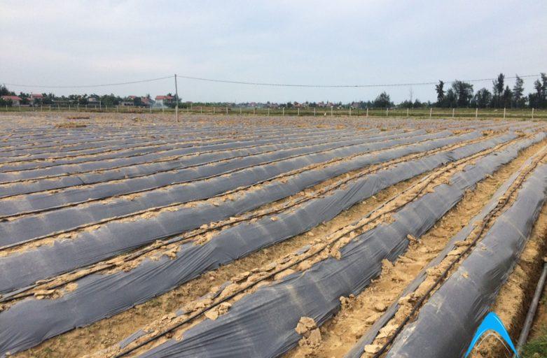 Tưới nhỏ giọt cây măng tây tại Nghi Liên, Nghệ An.