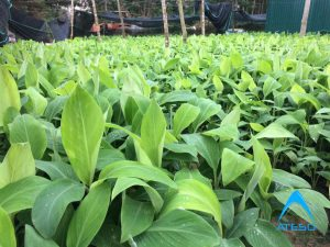 Chuối mốc chuẩn bị trồng cho 10 ha