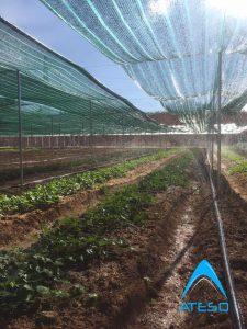 Hệ thống tưới phun mưa cho rau sạch hoạt động