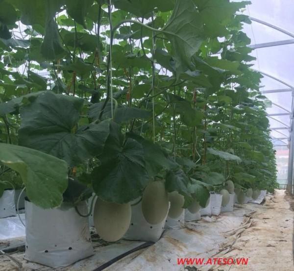 Mỗi nhà 1000 m2 trồng từ 2700 - 3000 cây dưa lưới, dưa leo hoặc cà chua.