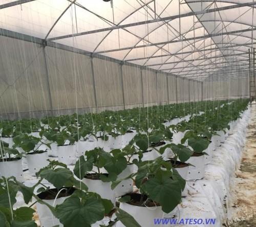 Dưa lưới được trồng trong nhà kính