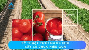 kỹ thuật tưới nước cho cây cà chua hiệu quả