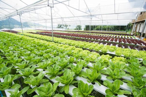 trồng rau trong nhà kính