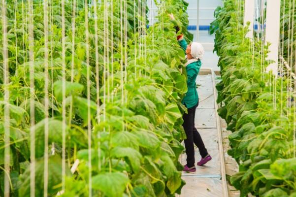 rau trồng trong nhà kính