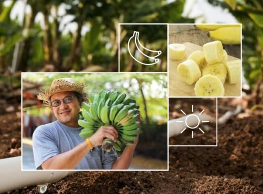 trồng chuối năng suất cao