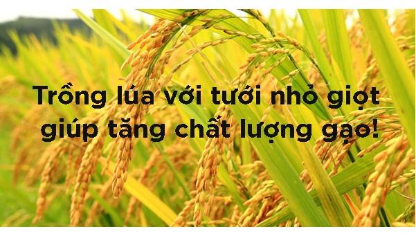trồng lúa với tưới nhỏ giọt