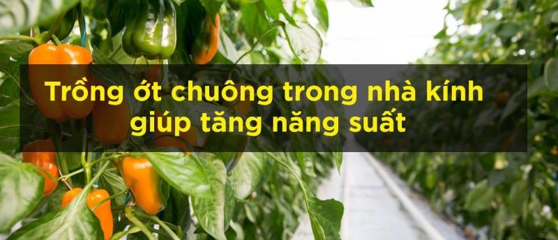 trồng ớt chuông trong nhà kính