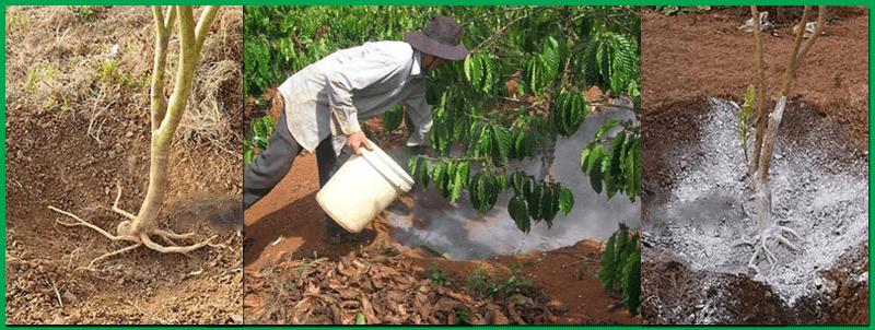 xử lý vàng lá thối rễ bằng chế phẩm sinh học